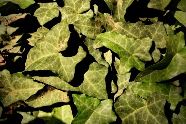 green leaves, ivy, herb, spring time, shadow, plant, leaf, texture, nature, flora