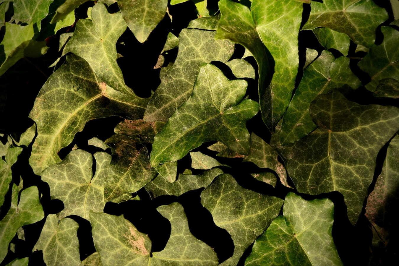 parasite, herb, ivy, close-up, details, green leaves, shadow, organism, greenery, plant