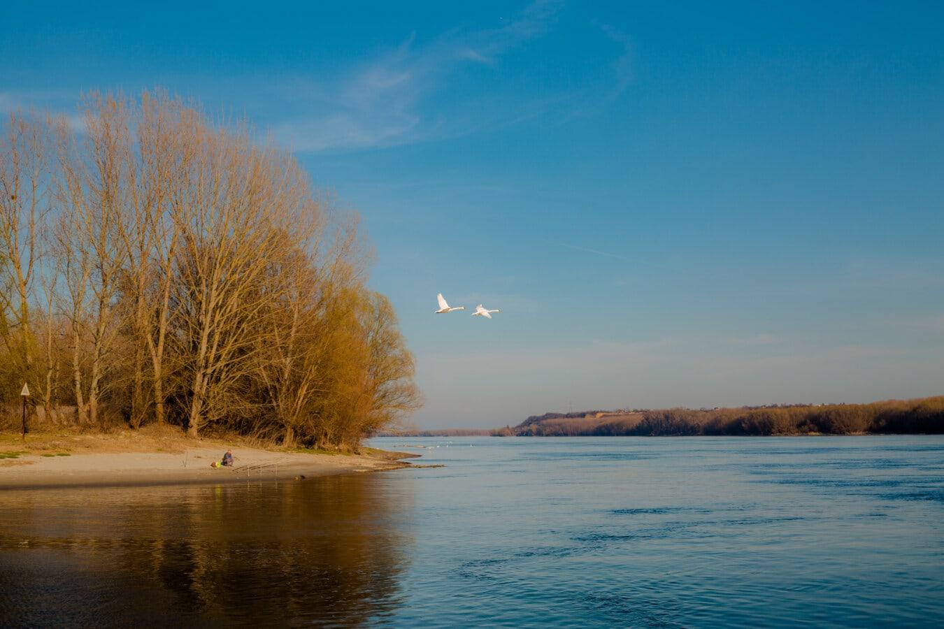 oiseaux, cygne, en volant, Flyover, rivière, berge, rive, eau, au bord du lac, paysage