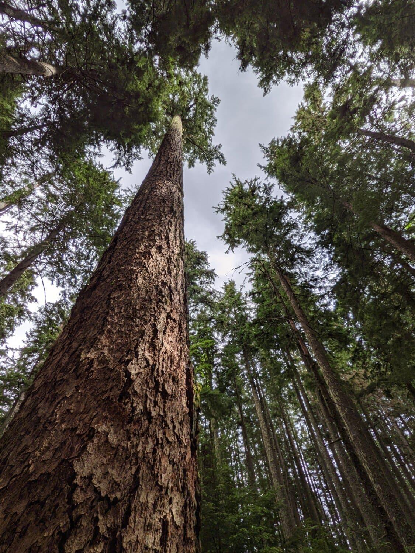 cyprès, forêt, conifère, arbre, Tall, bois, nature, arbres, plante, écorce