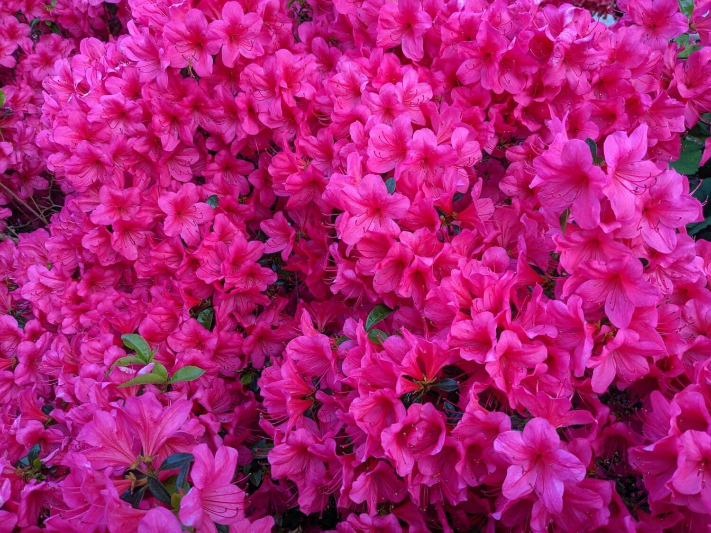 punertava, klusterin, kukat, Puutarha, kasvisto, sisustus, kasvi, kukka, pensas, luonto