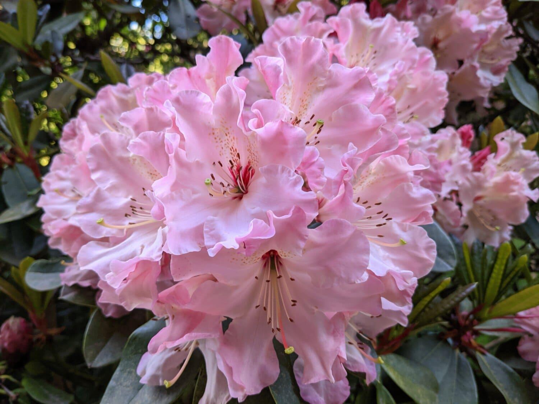 roz, până aproape, arbust, flori frumoase, frunze, flora, gradina, floare, plante, natura