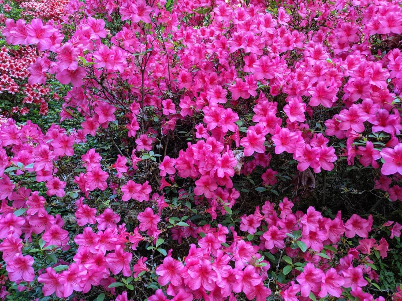 ピンク, 低木, 野生の花, 自然, 工場, 花, フローラ, 花, ガーデン, 夏