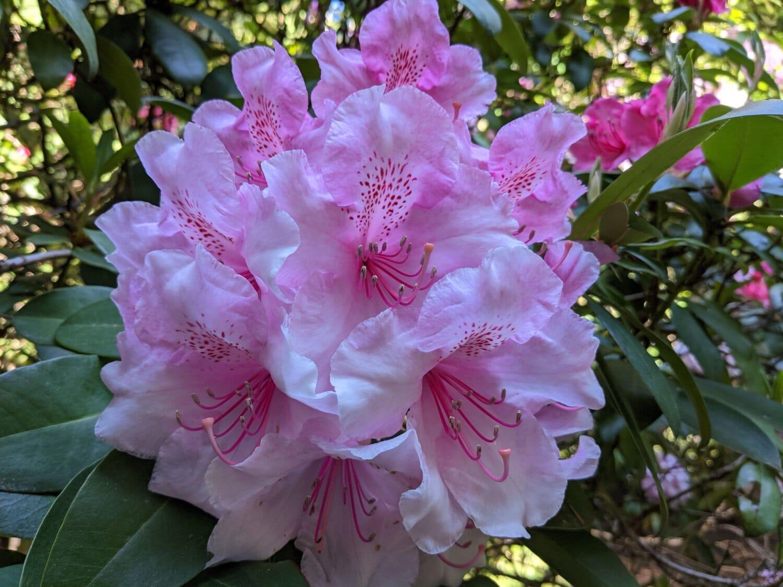 Rhododendron ponticum, pinkish, botany, flower garden, plant, pink, blossom, leaf, flower, shrub
