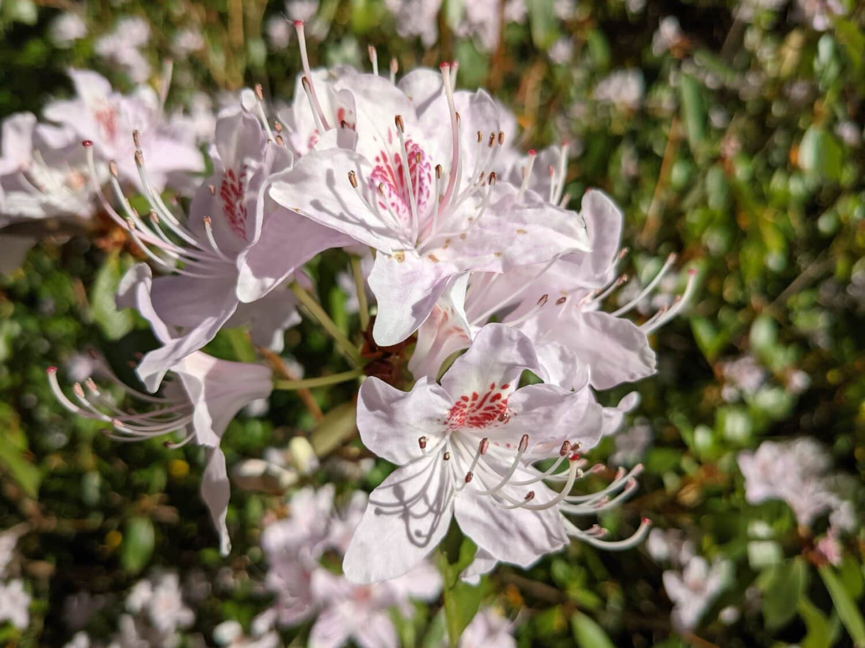 weiße Blume, Blume, Natur, Flora, blühen, Garten, Anlage, Frühling, Strauch, Struktur