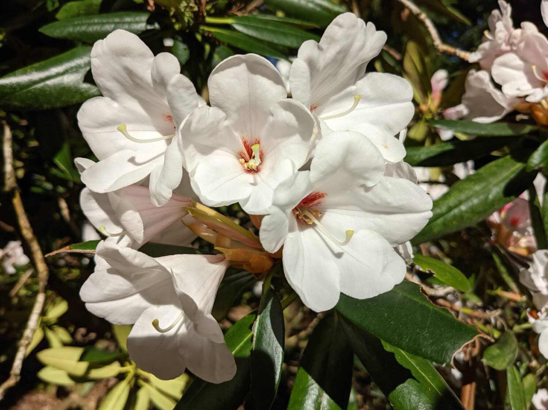 hvid blomst, blomst, blad, natur, haven, blomster, organisme, plante, flora, træ