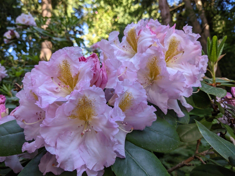 lila, ljusa, blomma trädgård, naturen, flora, trädgård, buske, Anläggningen, ökade, blomma