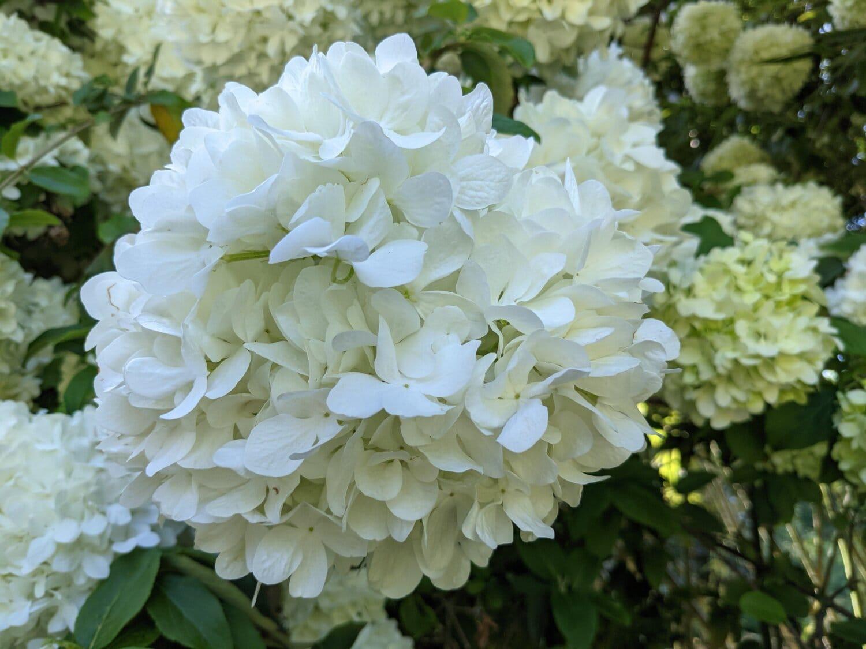 white, hydrangea, flower, shrub, plant, garden, nature, flowers, flora, leaf
