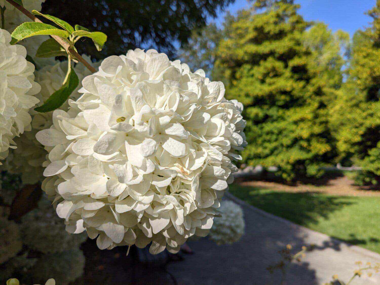 Hortensie, weiße Blume, Strauch, Garten, Blatt, Anlage, Blume, Blumenstrauß, Natur, Sommer