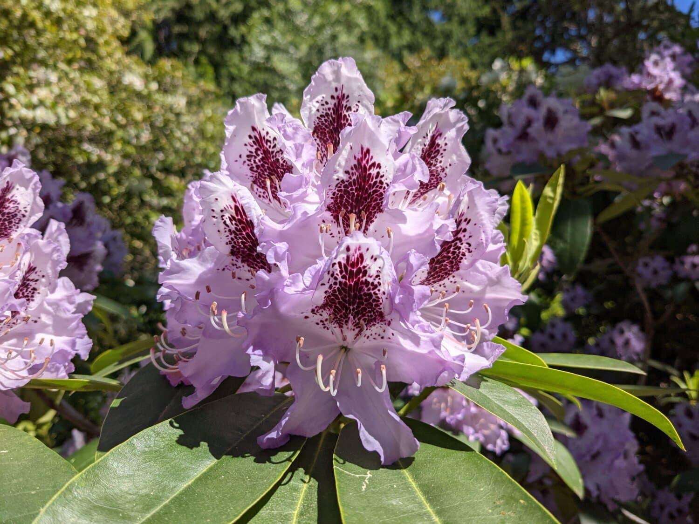 보라색, 아름 다운 꽃, 잎, 공장, 자연, 꽃, 꽃, 정원, 관목, 핑크