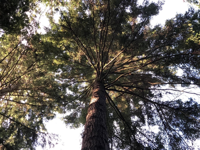 árvore, madeira, paisagem, natureza, planta, floresta, parque, Pinheiro, folha, sequóia