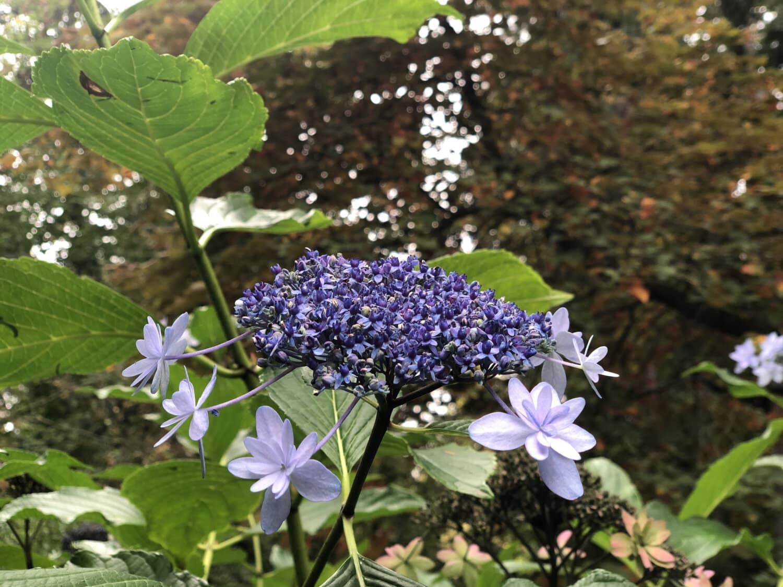 Blumen, violett, Strauch, Natur, Flora, Kraut, im freien, Blatt, Garten, Anlage