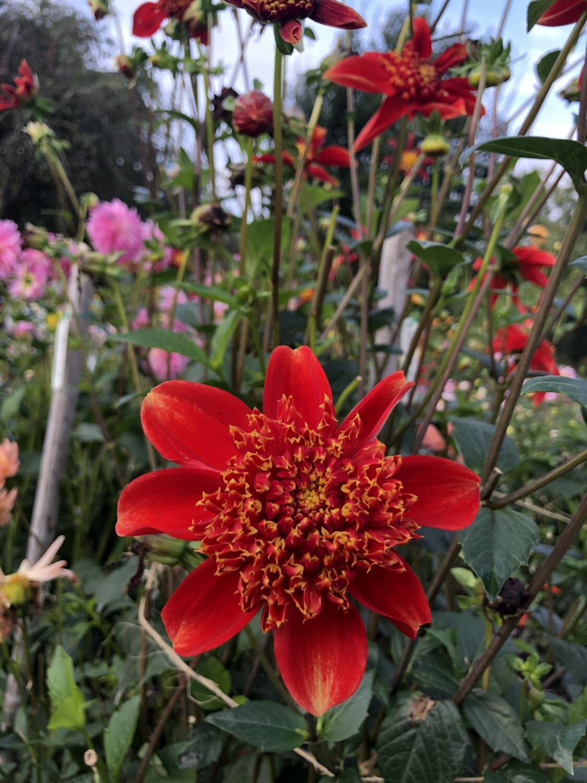 Çiçek Bahçesi, çiçekler, Kırmızı, çalı, çiçek, doğa, Bahçe, bitki, yaprak, flora
