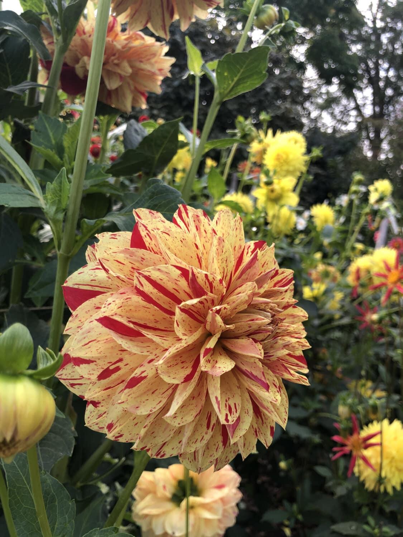 Chrysantheme, Blütenblätter, Orange gelb, Blumengarten, Blume, Natur, Blüte, Dahlie, Anlage, Flora
