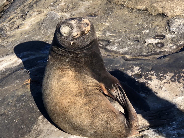 aus nächster Nähe, Tier, Seelöwe, Tierwelt, natürlichen Lebensraum, Strand, Natur, Meer, Ozean, Rock