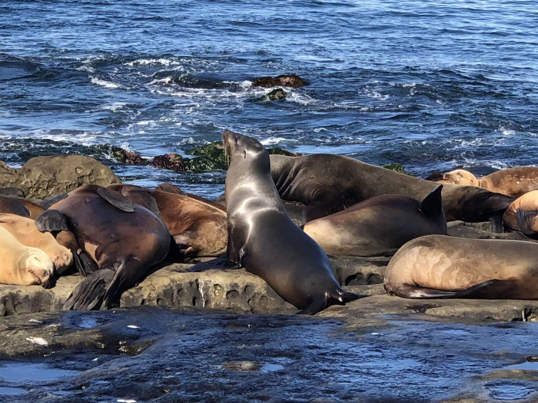 beach, water, sea lion, sea, ocean, wildlife, seashore, animal, pacific, nature