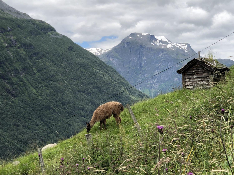 llama, alpaca, mountainside, grazing, animal, shed, cottage, mountain, mountains, landscape