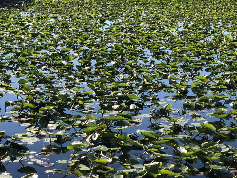 feuilles vertes, lis d'eau, écosystème, réseau d'aqueduc, plante, eau, plante aquatique, nature, herbe, feuille