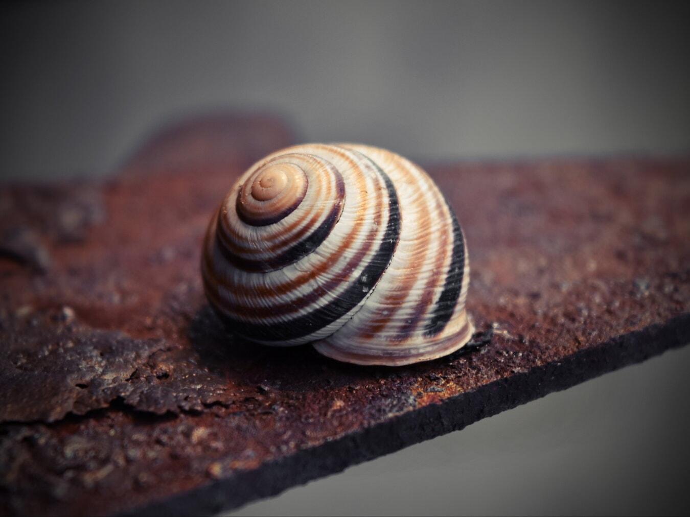 coajă, melc, spirala, până aproape, maro deschis, nevertebrat, gasteropod, animale, natura, premier-plan