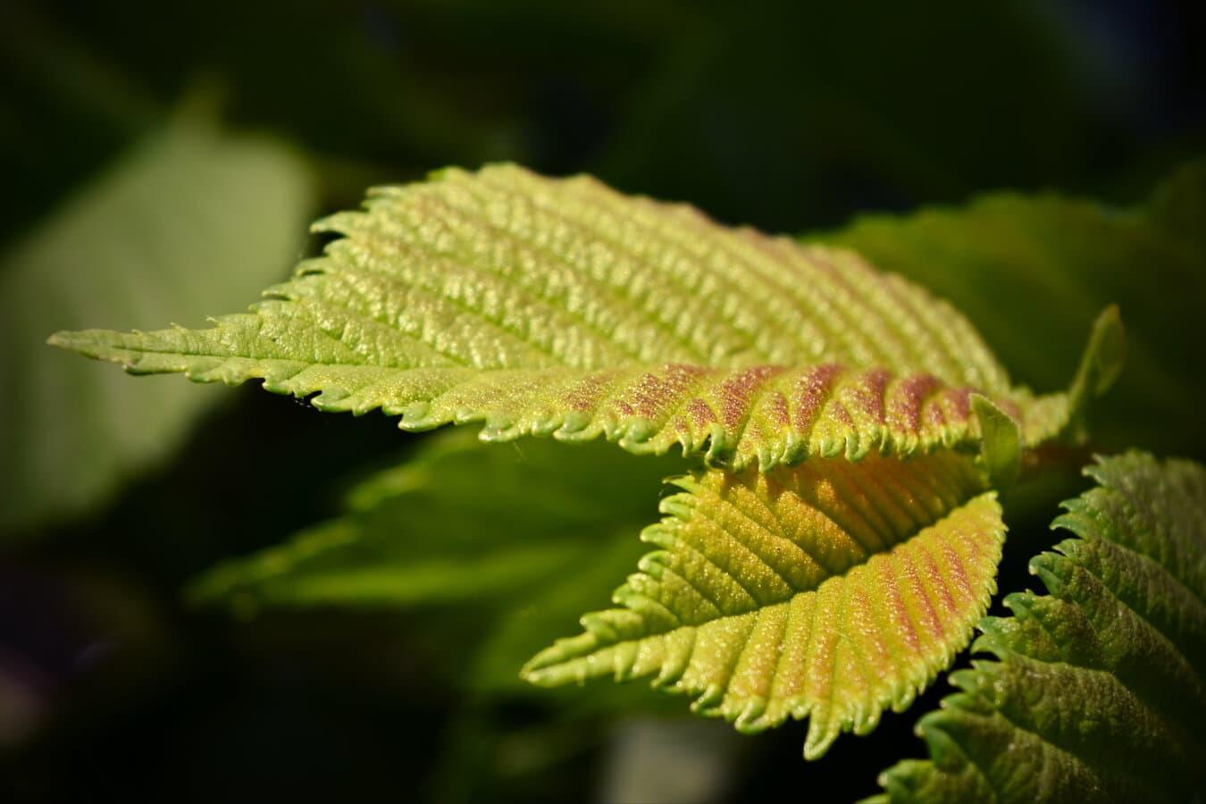 gule blader, grønne blad, Elm, våren, urt, organisme, nært hold, Sollys, blad, treet