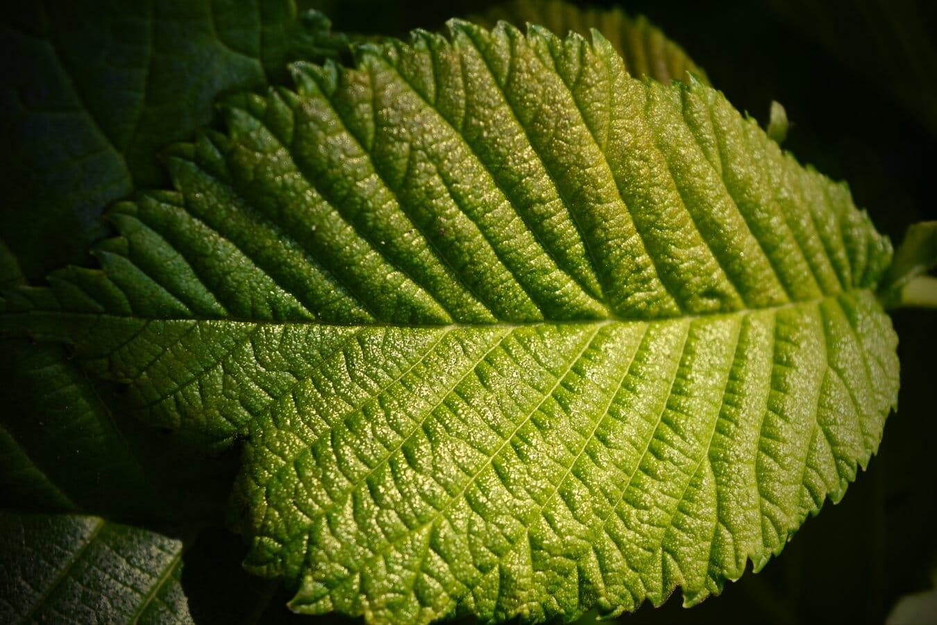 grünes Blatt, Elm, Schatten, aus nächster Nähe, Sonnenlicht, Blatt, Natur, Blätter, Anlage, Struktur
