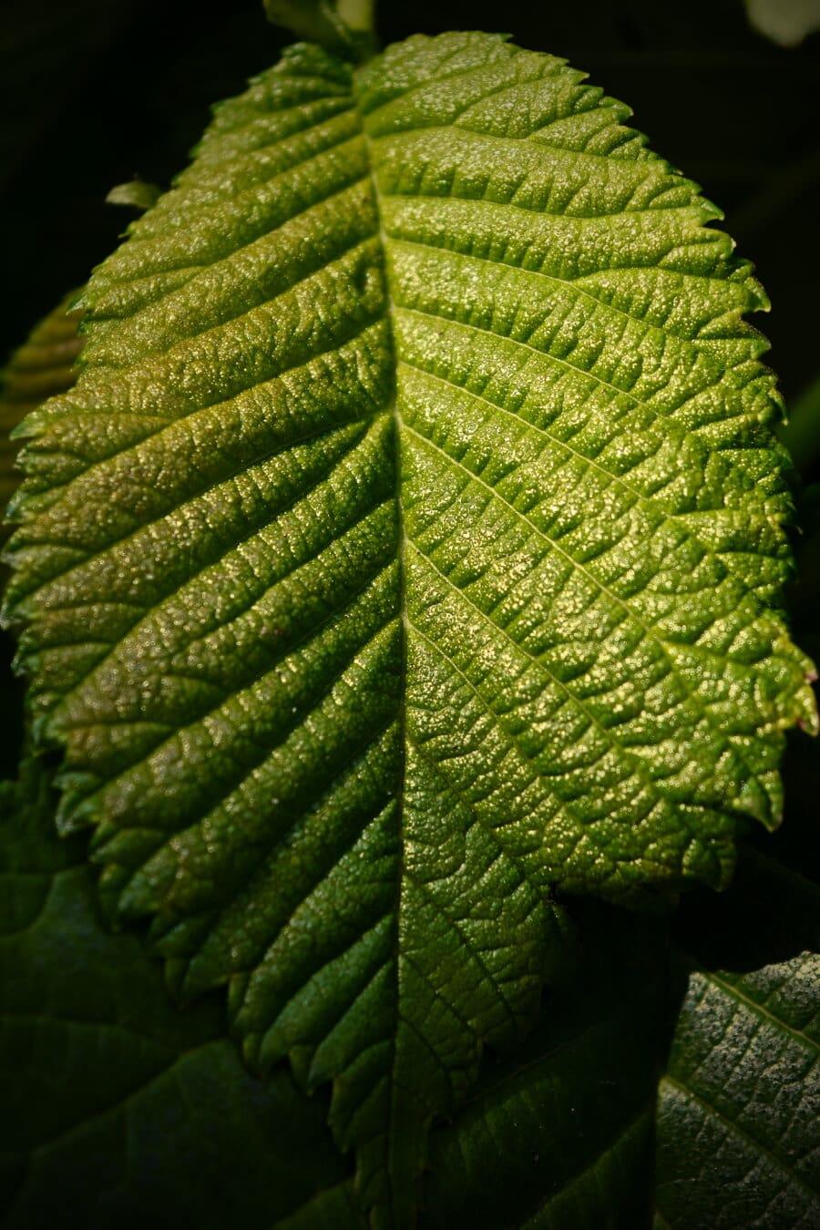 grønne blad, Elm, nært hold, detaljer, urt, vene, anlegget, treet, blad, natur