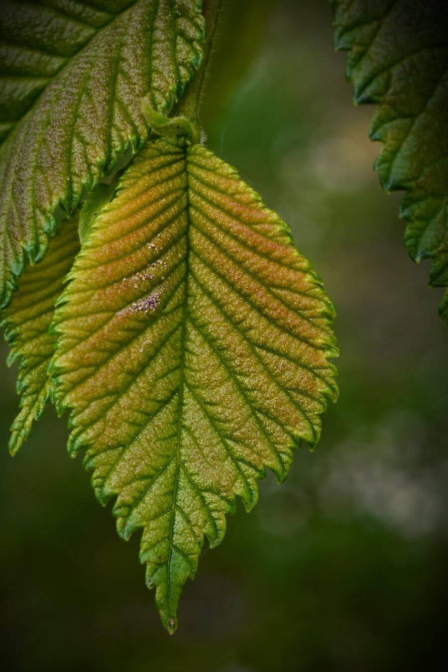 Elm, crenguţă, ramură, frunze verzi, plante, natura, copac, frunze, frunze, flora