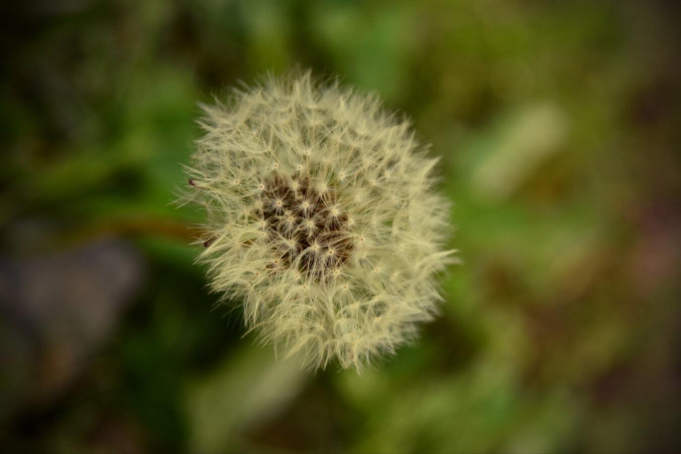 yakın, karahindiba, tohum, doğa, çiçek, ot, bitki, ot, çimen, açık havada