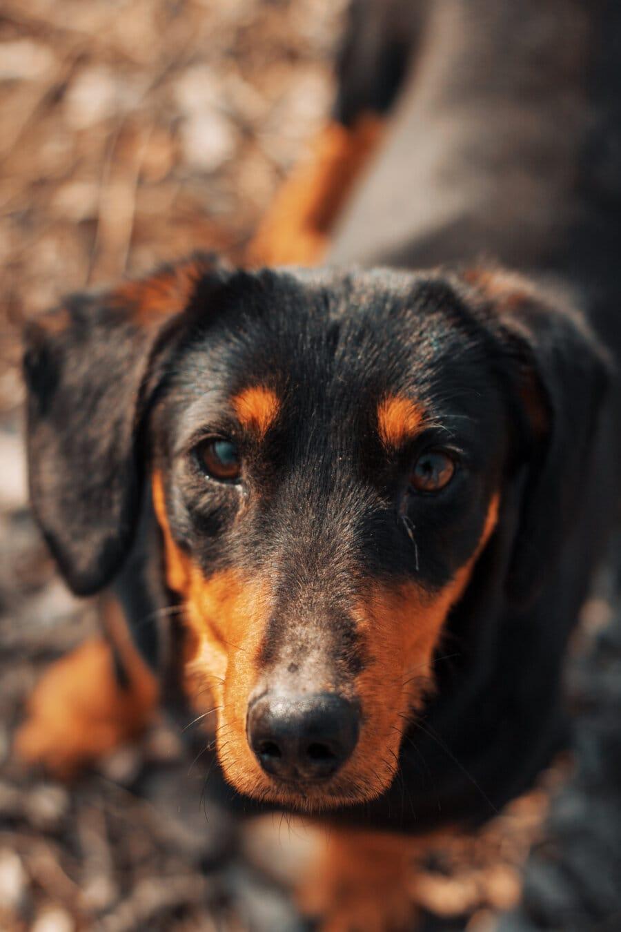 şirin, köpek, daksund, av köpeği, safkan, kafa, gözler, çok güzel, hayvan, tazı