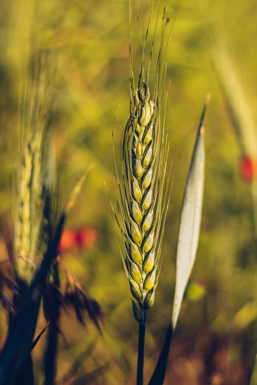 vete, Wheatfield, grönt blad, korn, Solljus, jordbruk, råg, Grain, spannmål, frö