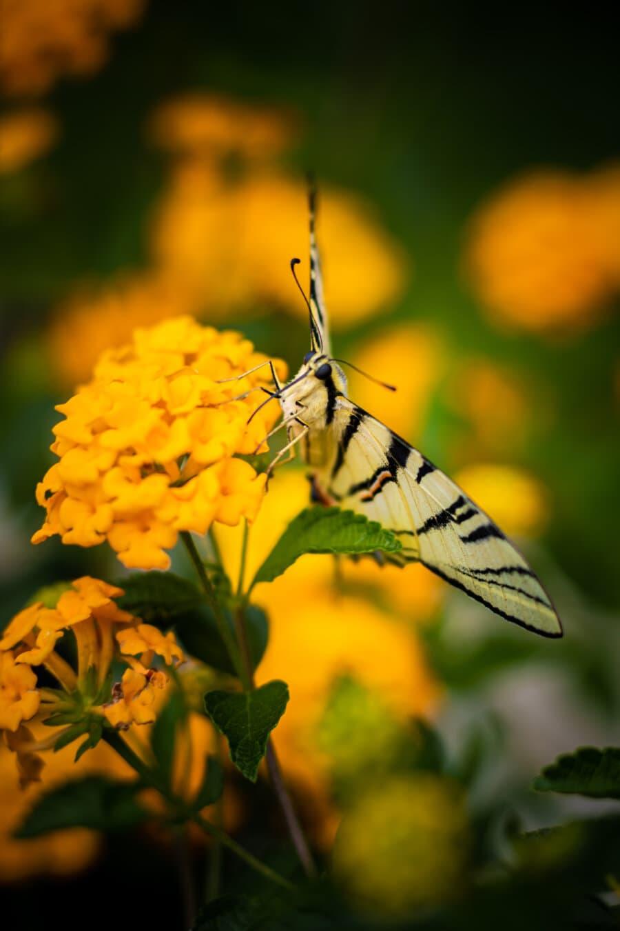 leptir, izbliza, leptir cvijet, žućkasto, žuta, priroda, kukac, cvijet, ljeto, biljka