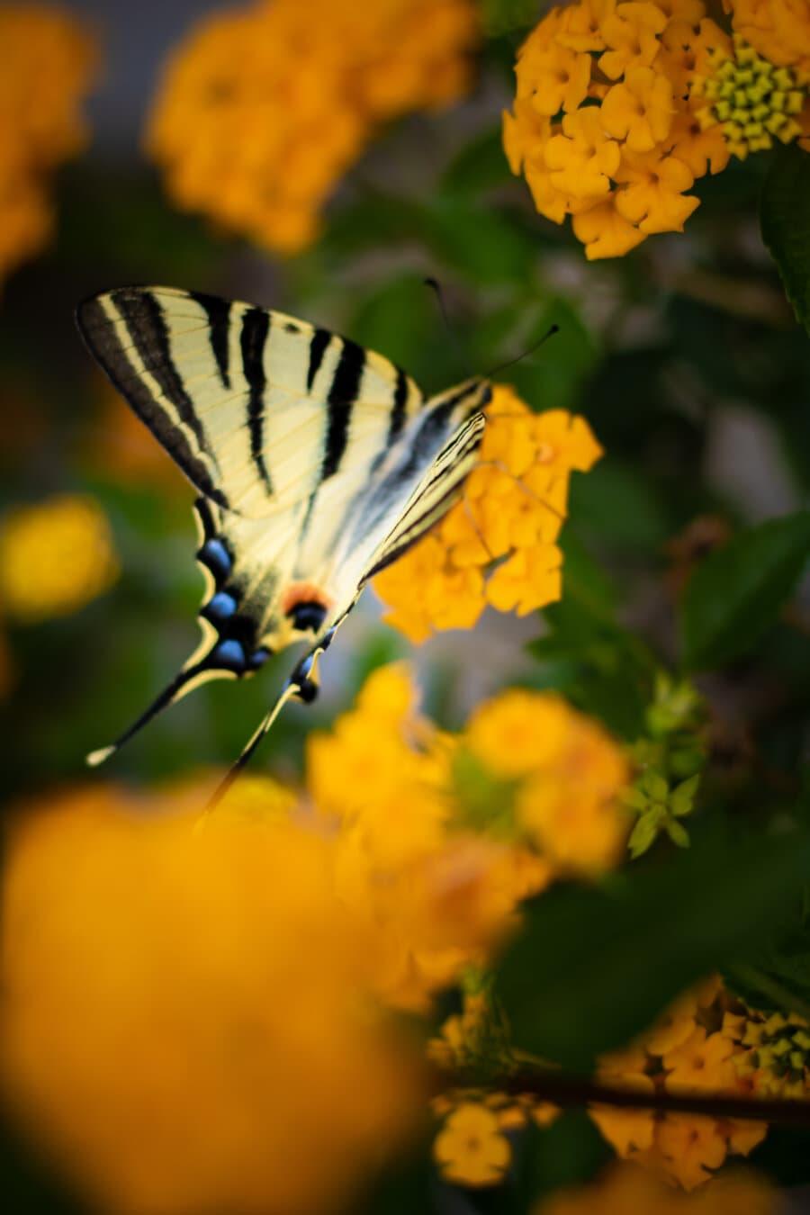 πεταλούδα λουλούδι, πεταλούδα, πολύχρωμο, κιτρινωπό, Όμορφο, έντομο, φυτό, το καλοκαίρι, θάμνος, φύση
