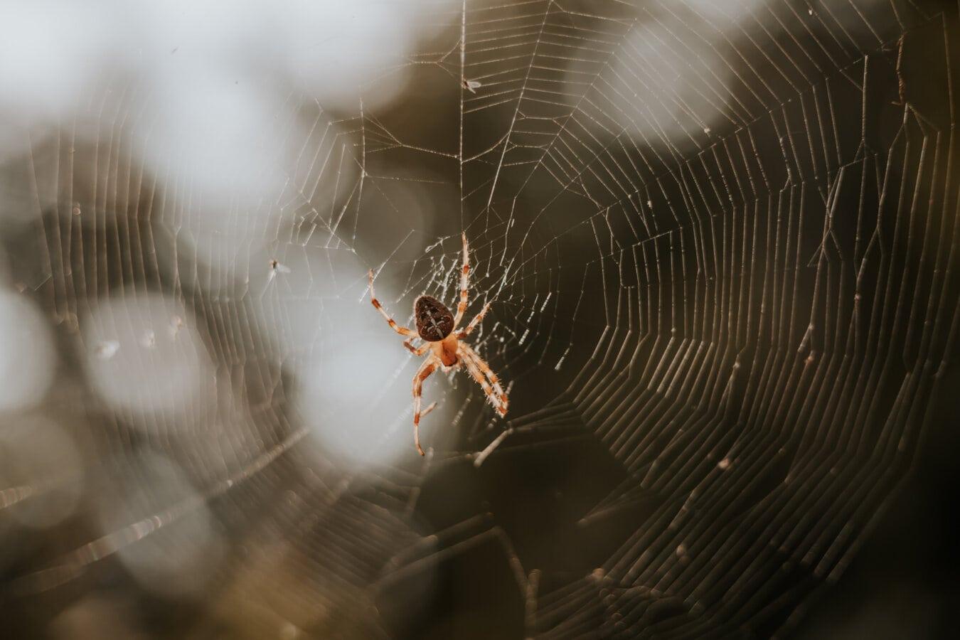 spider, spider web, animal, big, insect, backlight, trap, cobweb, spiderweb, danger