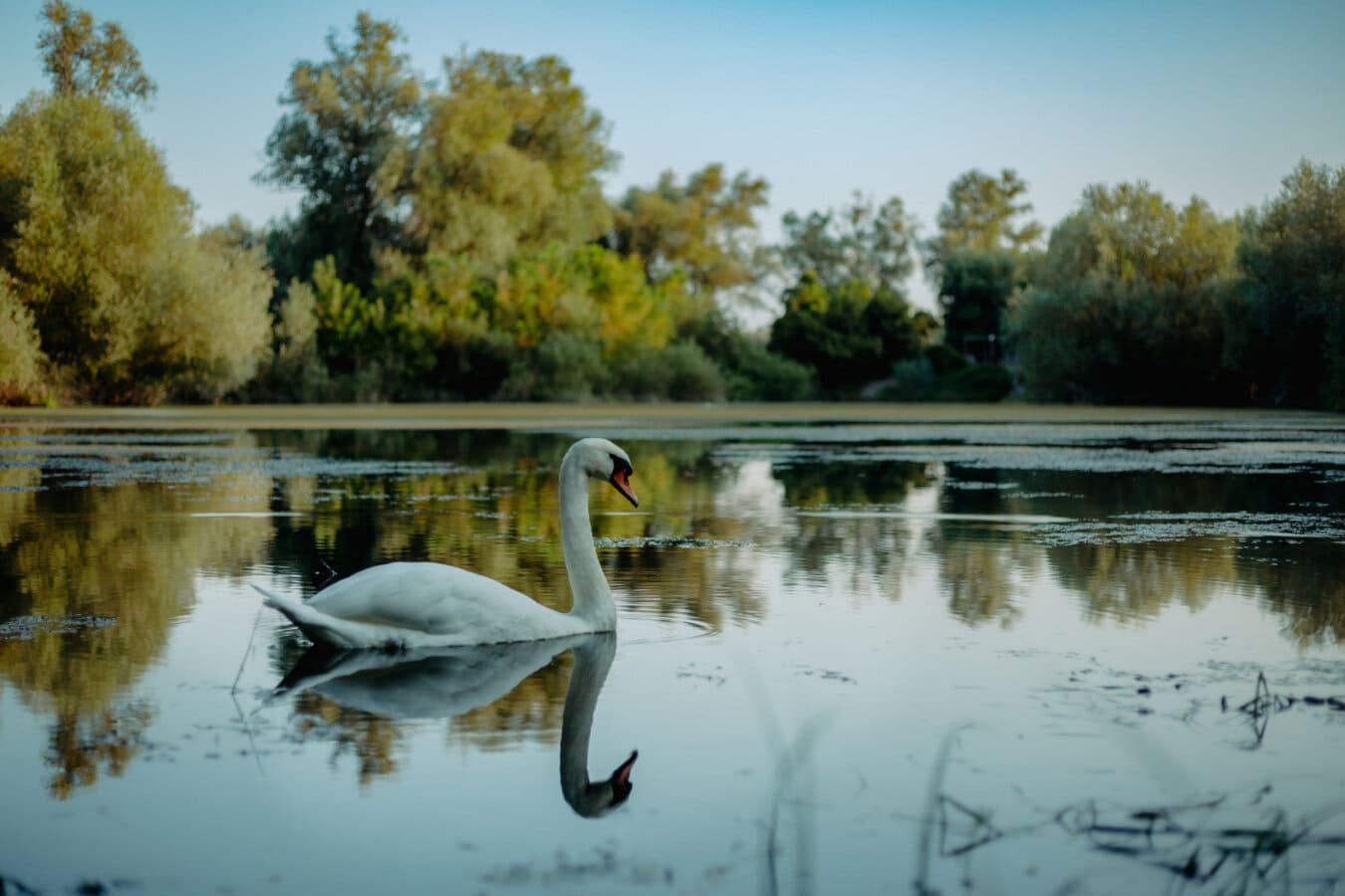 aube, majestueux, cygne, au bord du lac, nature, oiseau, soirée, placide, eau, paysage