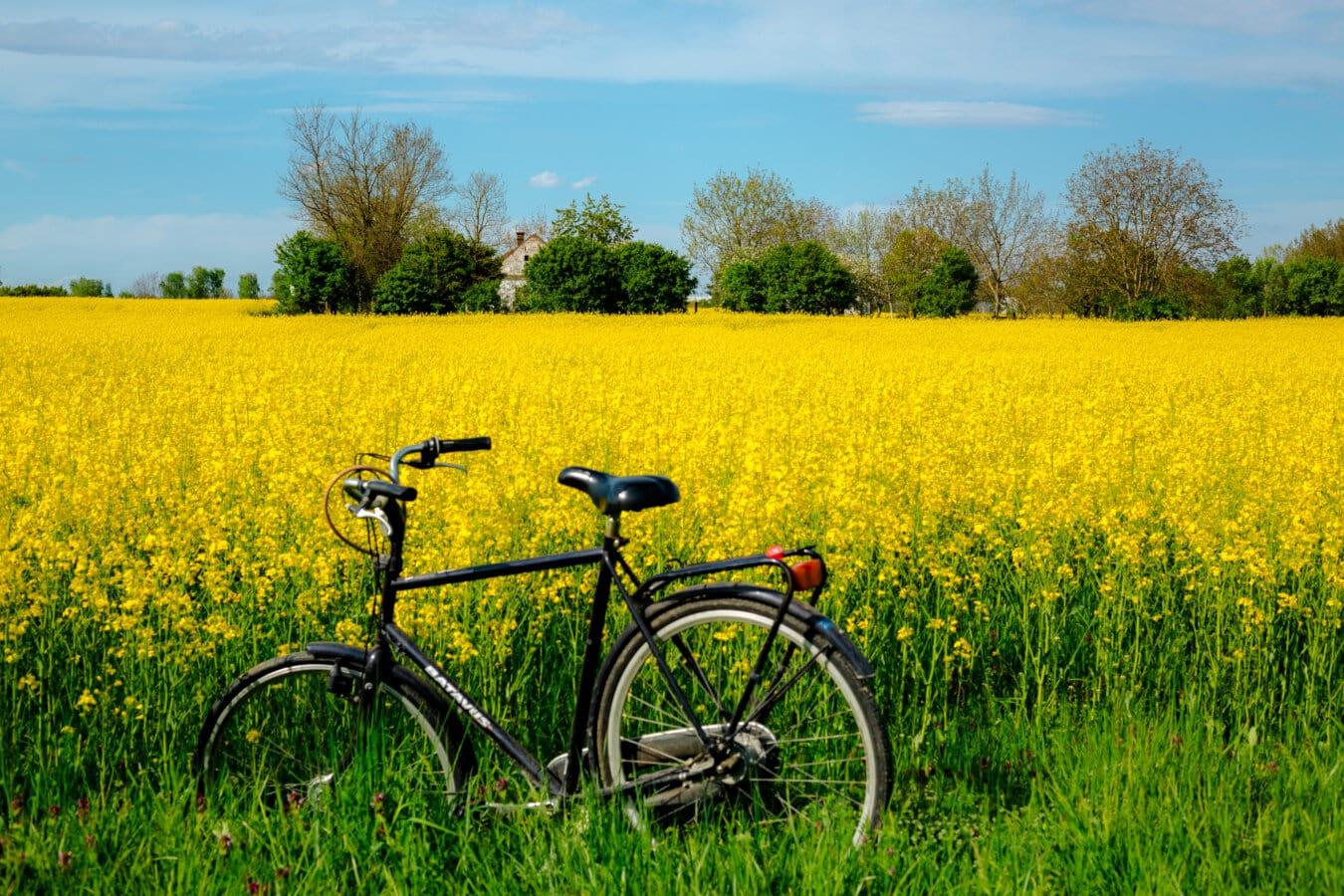 рапс, сельское хозяйство, поле, летнее время, велосипедов, сельскохозяйственные угодья, ферма, Сельский дом, сельской местности, пейзаж