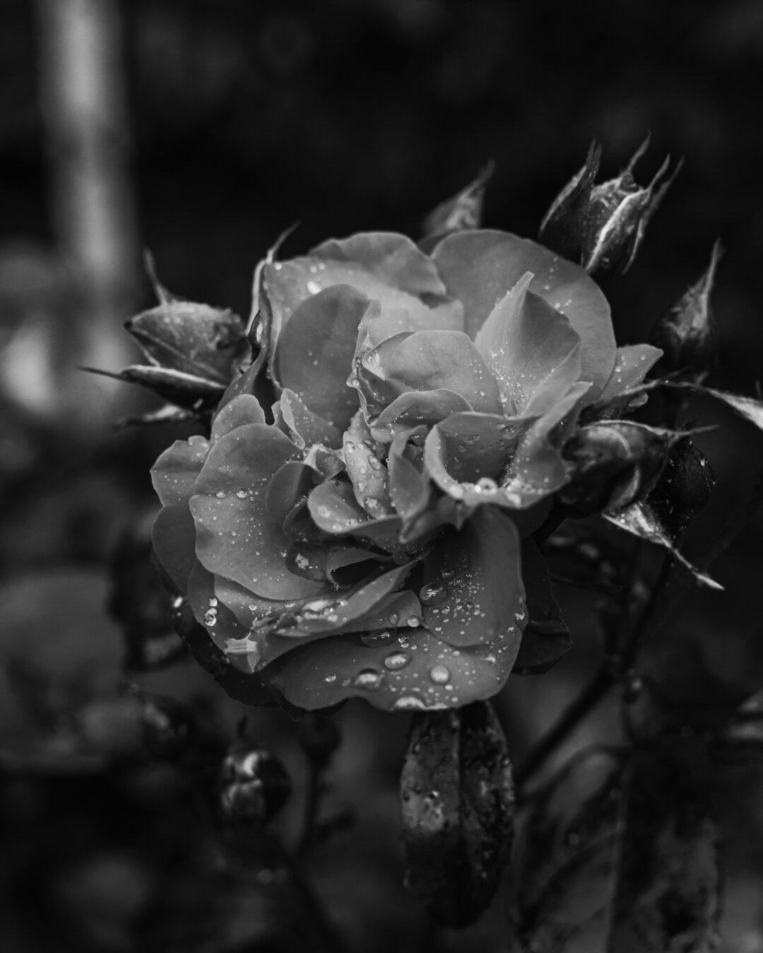 schwarz und weiß, Rosen, Blumengarten, Tau, Feuchtigkeit, nass, Garten, Blume, Flora, Anlage