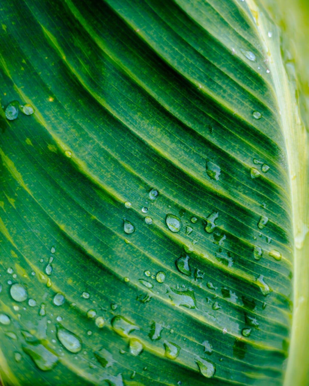 goutte de pluie, rosée, feuille verte, nature, pluie, laisser tomber, feuille, flore, veine, Résumé