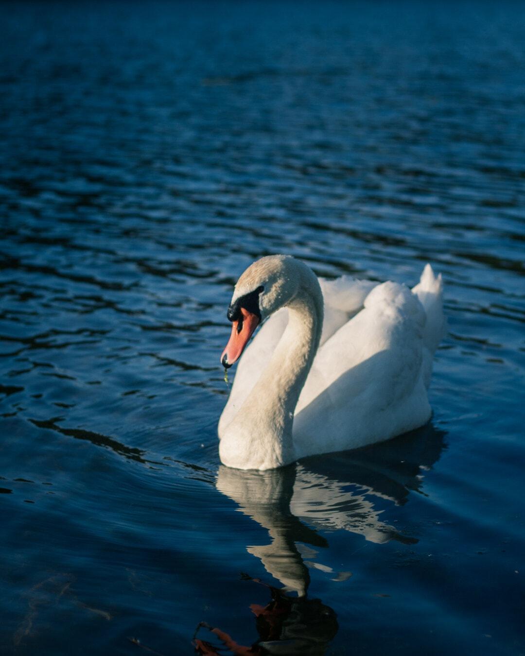 purity, swan, grace, majestic, spectacular, bird, animal, beak, albatross, aquatic bird