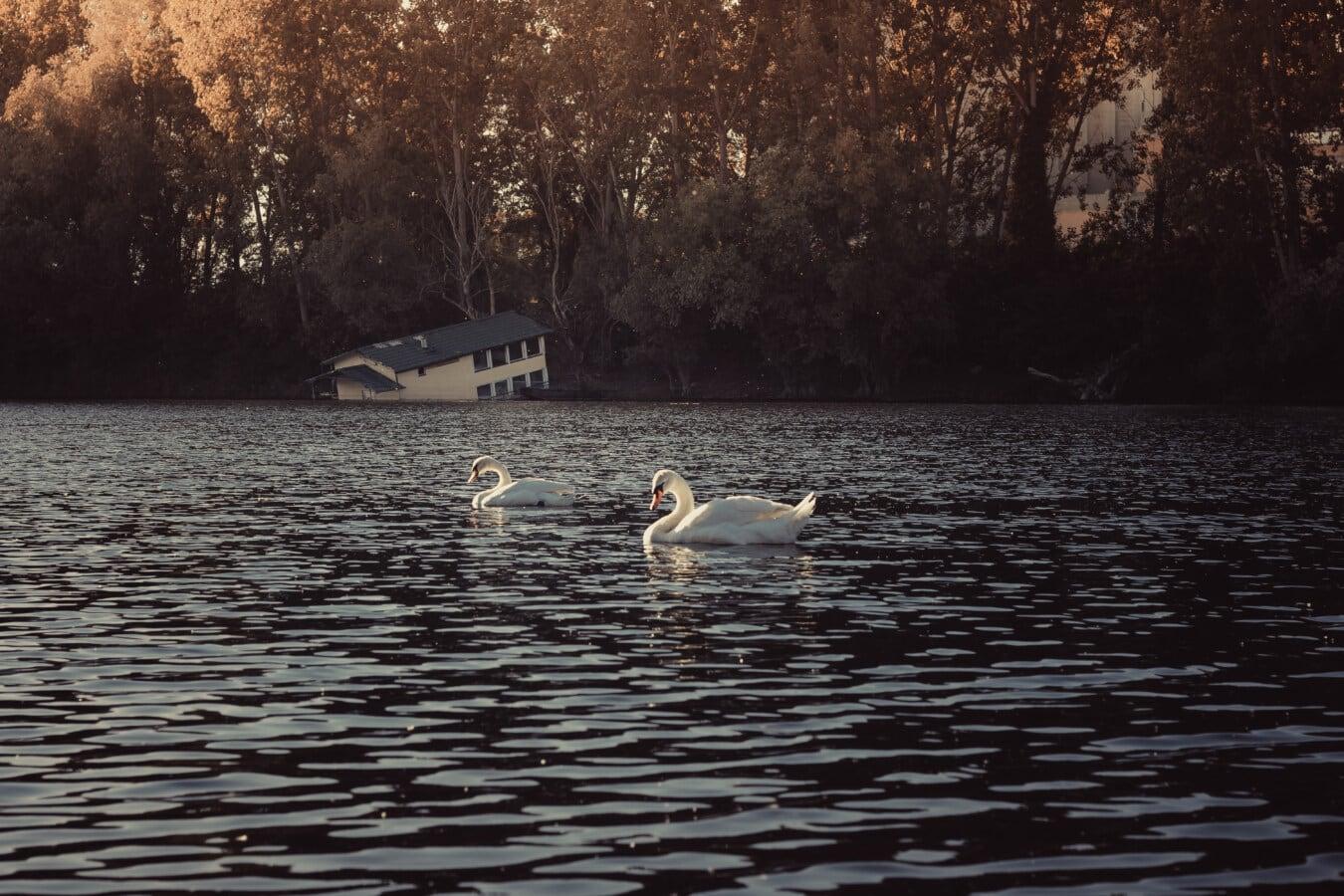 cygne, contre les inondations, au bord du lac, ensoleillement, Lac, rivière, oiseau, eau, réflexion, aube