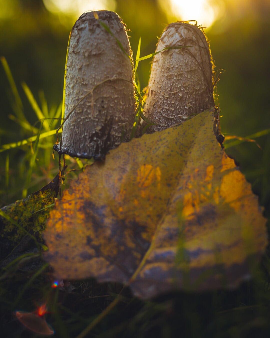 일출, 일광, 버섯, 햇빛, 백라이트, 곰 팡이, 곰 팡이, 자연, 잎, 버섯