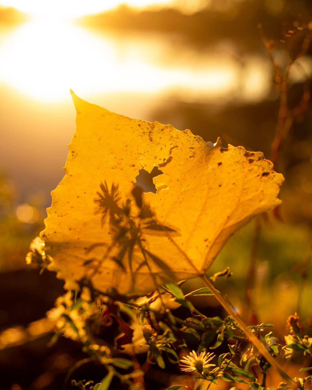 Sollys, baggrundsbelyst, solrig, blad, lyse, gyldne glød, gennemsigtig, helt tæt, græsklædte, orange gul