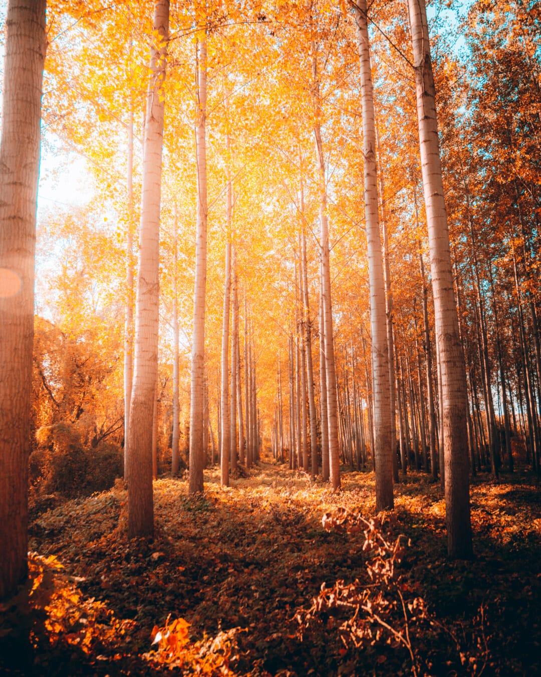 sunny, sunspot, sunshine, forest, sunrays, poplar, forest trail, golden glow, park, landscape