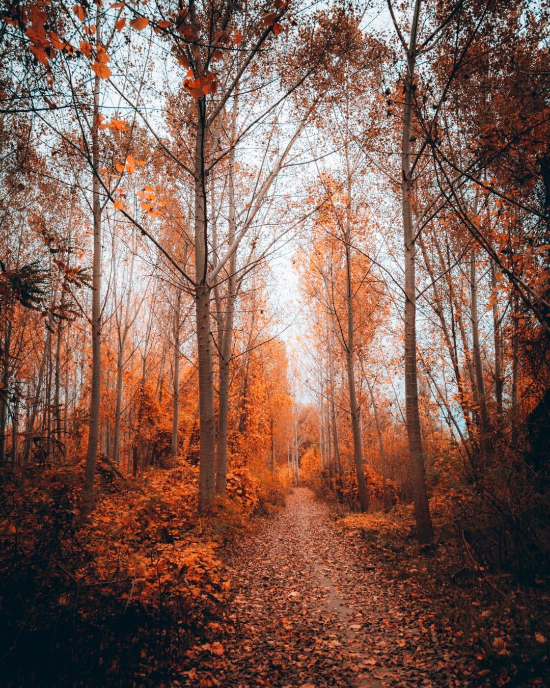 Birke, Bäume, Herbst, Struktur, Holz, Wald, Landschaft, Blatt, Dämmerung, Nebel