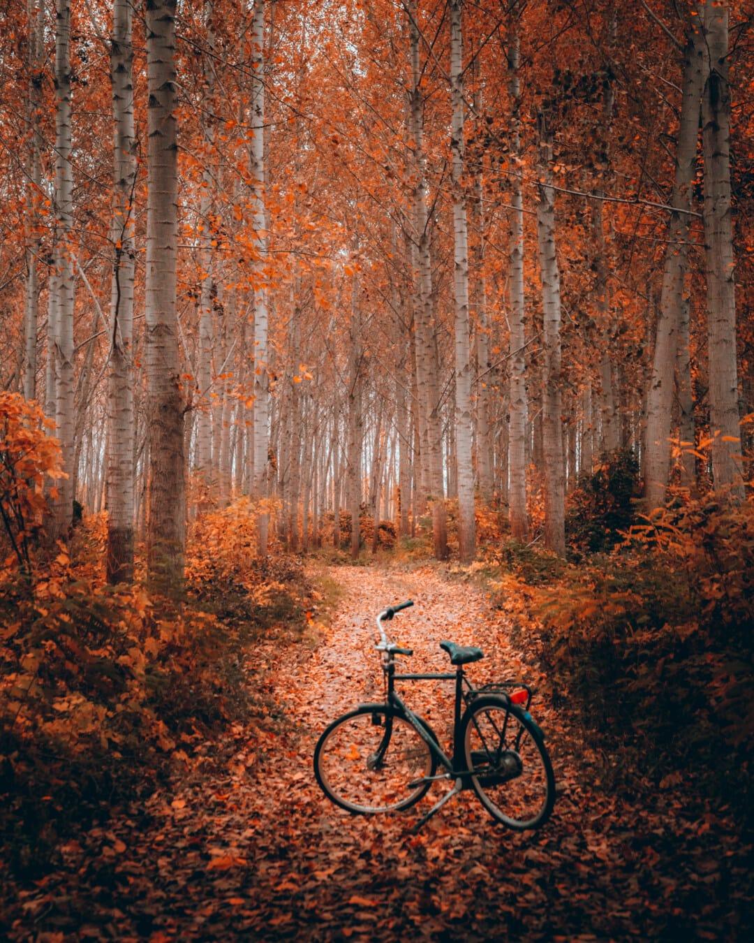 Herbstsaison, Forststraße, Waldweg, Wald, Fahrrad, Bäume, Pappel, Herbst, Landschaft, Struktur