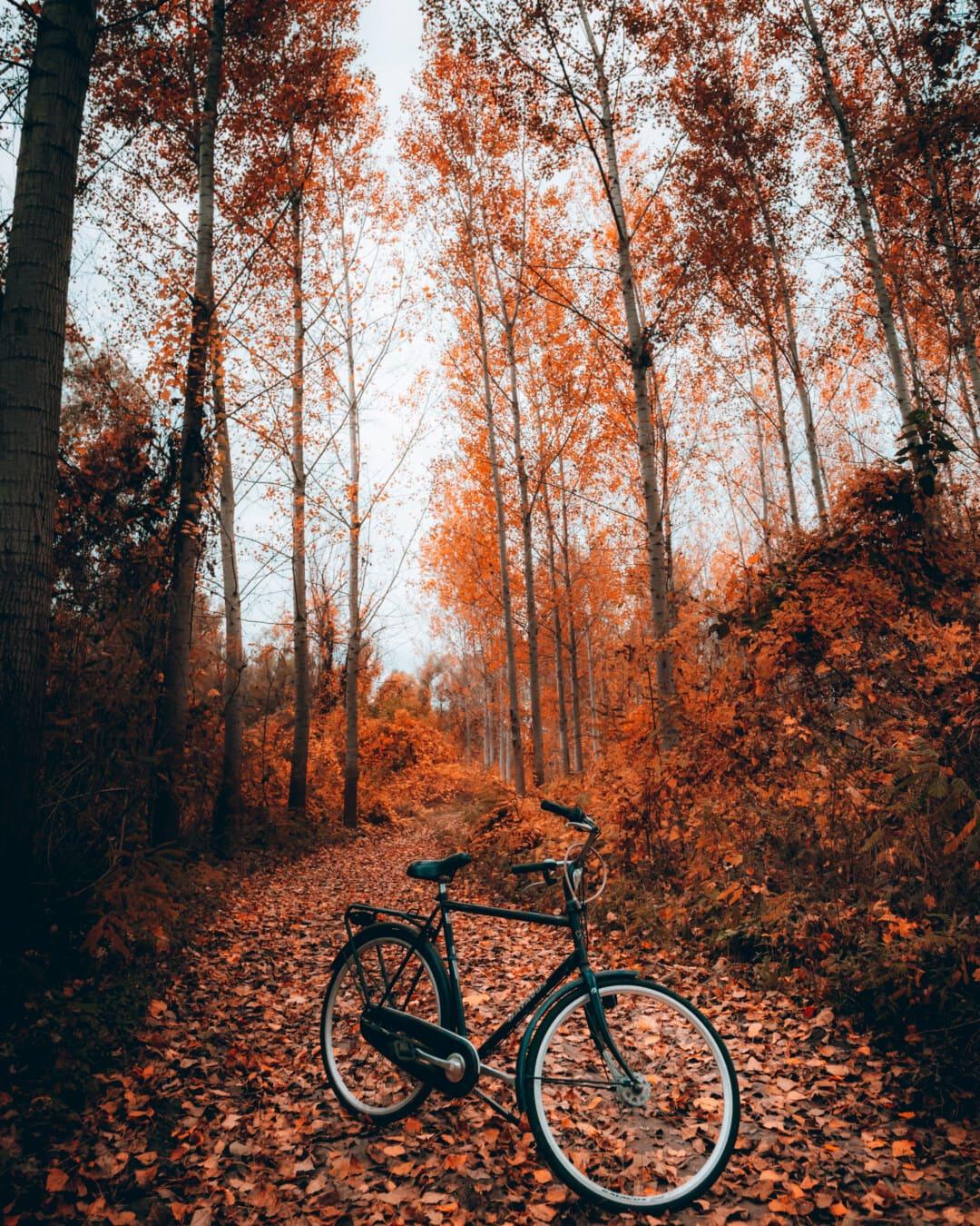 δέντρα, μονοπάτι του δάσους, Φθινόπωρο σεζόν, δασικός δρόμος, Λεύκες, ποδήλατο, όχημα, ξύλο, δέντρο, τροχός