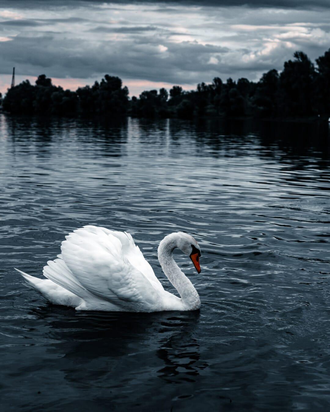 labuť, majestátne, milosť, vták, veľkolepé, idylické, Príroda, voľne žijúcich živočíchov, jazero, reflexie