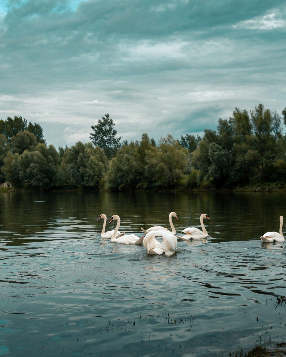 Wildnis, bewölkt, Schwan, Herde, Vögel, Ufer, Wasser, am See, See, Vogel