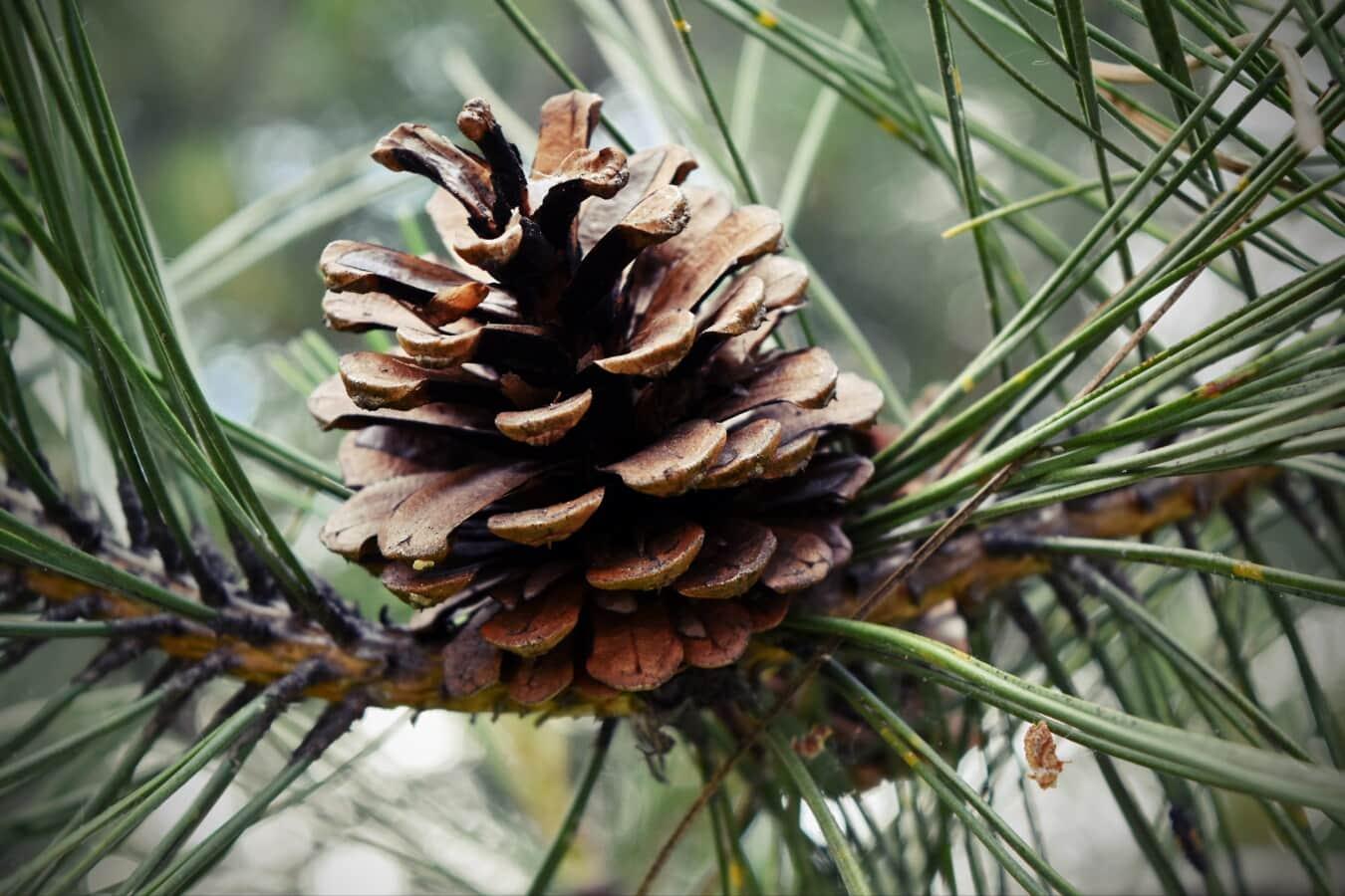zimozielony, natura, drzewo, sosna, stożek, drzewo iglaste, Oddział, sezon, Boże Narodzenie, zbliżenie
