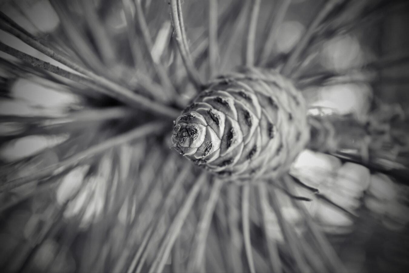 contacto directo, coníferas, blanco y negro, rama, naturaleza, monocromo, pino, árbol, difuminar, celebración