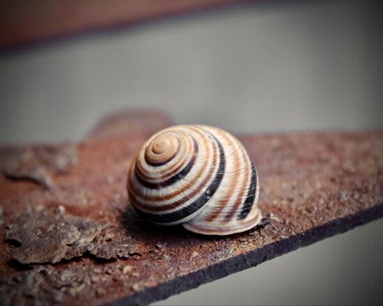 ขนาดเล็ก, หอยทาก, ใกล้ชิด, น้ำตาลอ่อน, เชลล์, กระดูกสันหลัง, บุ้ง, หอยกาบเดี่ยว, เกลียว, หอย